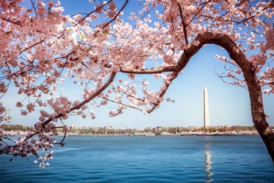 Festival des cerisiers à Washington DC 4 Jours